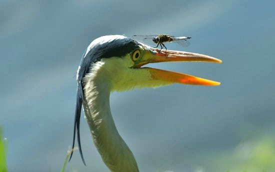 great blue heron with dragonfly on his beak.