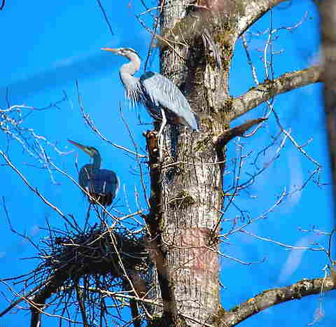 great blue heron nest in dead trees with two blue herons at the nest.