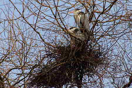 great-blue-heron-pair-in-nest