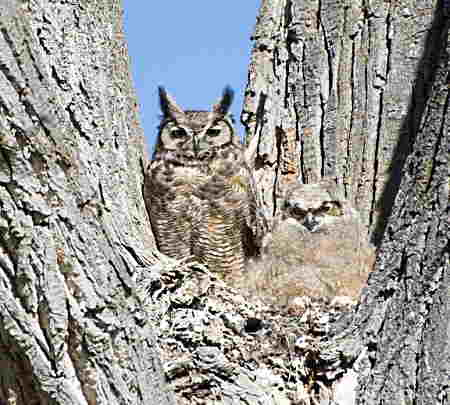 great horned owl with owlet in tree home