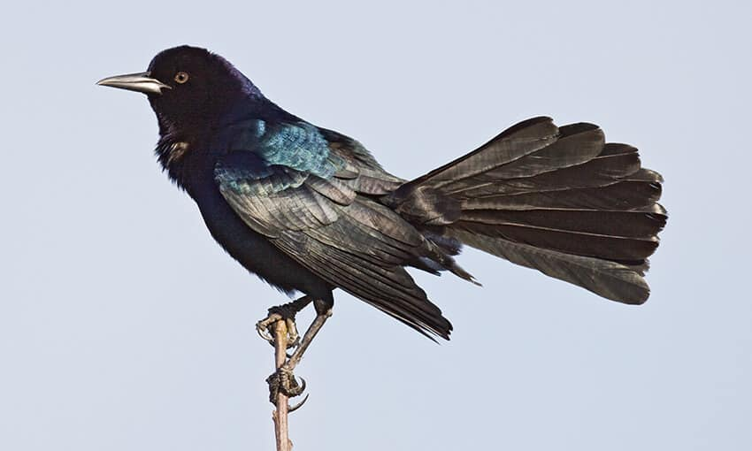 A picture of a great-tailed grackle perched on a stick.