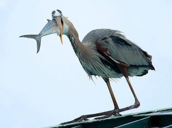great blue heron gulping fish
