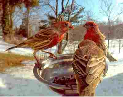 house finches dining on tray feeder