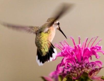 calliope hummingbird is attracted to beebalm