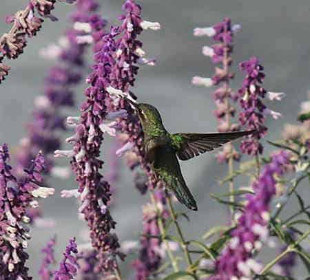 hummingbird-plants-provide-spider-silk