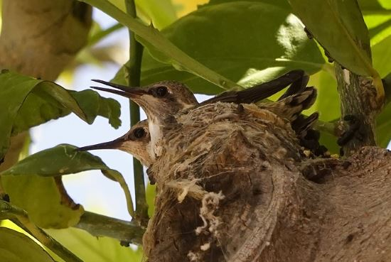 hummingbird babies are raised by female
