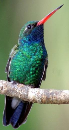 hummingbirds are attracted by multiple feeders