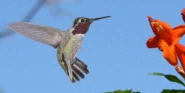 Male Costas Hummingbird in front of a flower.