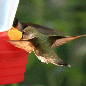 When Do I Take Down My Hummingbird Feeder