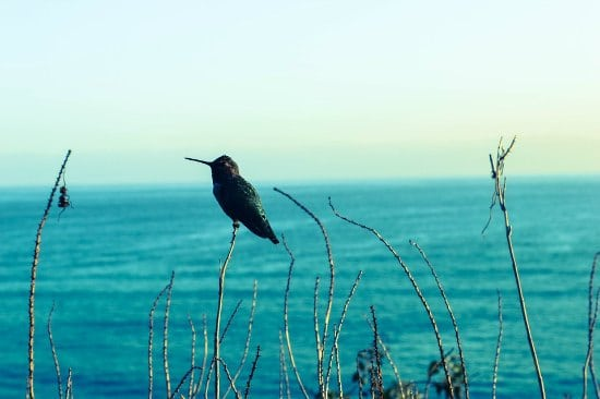 hummingbird overlooking lake perched on tall grass