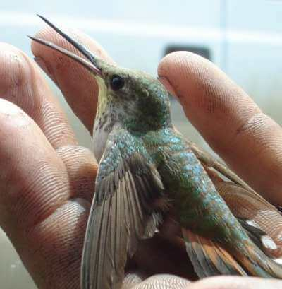 A picture of a caliope hummingbird in the palm of a hand.