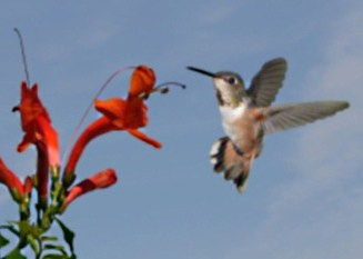 female rufous hummingbird in front of a flower.