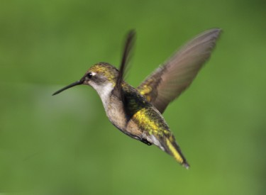 hummingbirds quiz