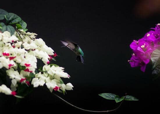 A picture of a hummingbird flying in-between two sets of flowers.