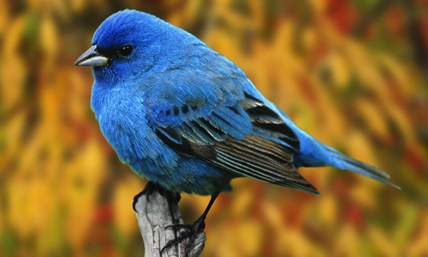 A picture of an Indigo Bunting perched on a branch.