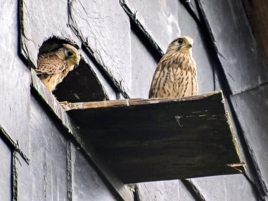 kestrel pair guarding their babies in nest