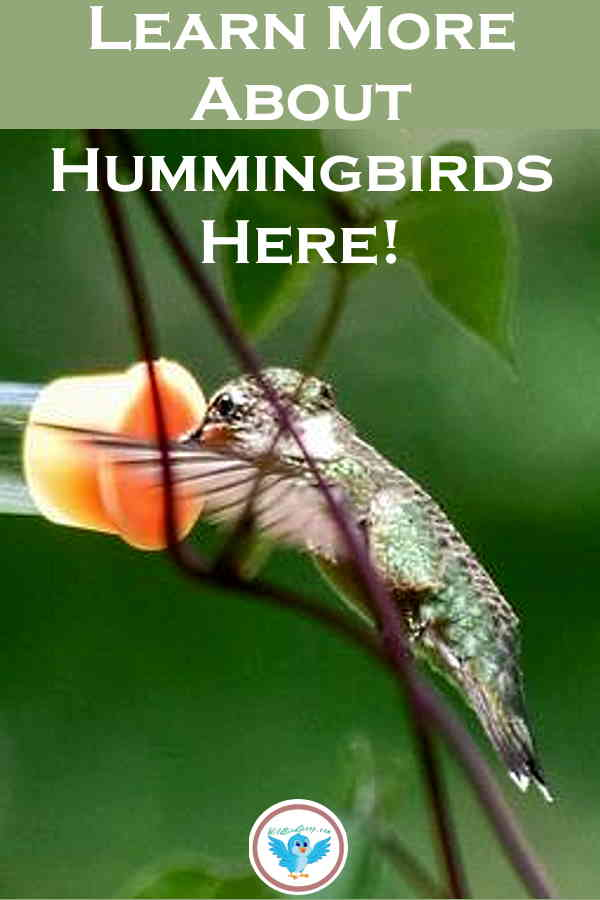 A Pinterest image of a hummingbird with text that reads learn more about hummingbirds here.