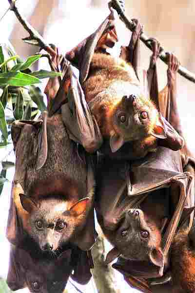 flying foxes hanging upside down from branches.