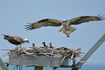 An Osprey bringing lunch to the Osprey babies nested in a wooden box.