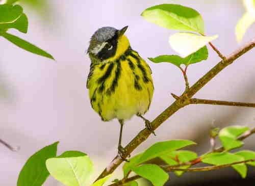 magnolia warbler perched on a branch