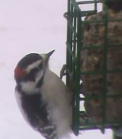 Male Downy Woodpecker At Suet Cage Feeder