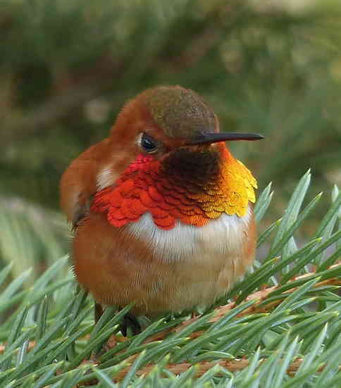 male rufous hummingbird gorget