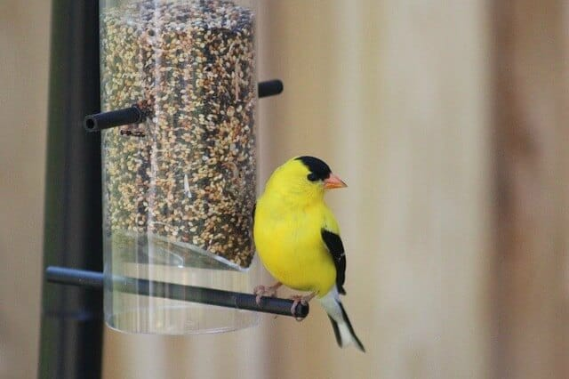 mixed finch food in a tube feeder with a goldfinch sitting at the feeder