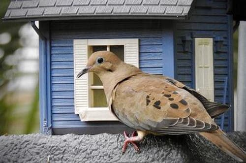 An image of a mourning dove at a bird house.