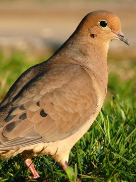 mourning dove parents share raising baby birds