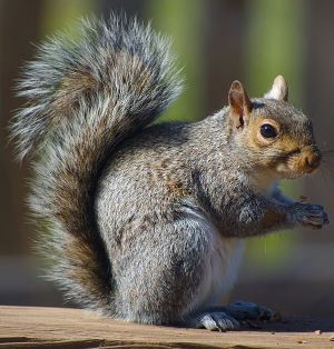 A gray squirrel standing on top of a piece of wood railing.