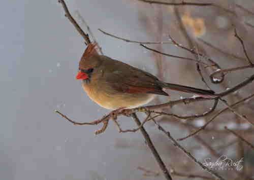 northern-cardinal-female-sr-ws