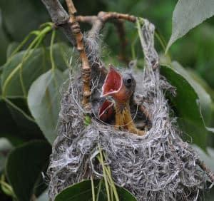 oriole nest sac
