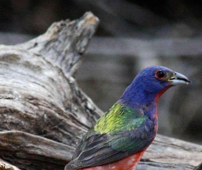 male painted bunting on driftwood