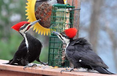 pileated-woodpeckers-eating-suet