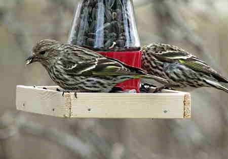 Pine Siskins Enjoying Black-oil Sunflower Seed From A Homemade Bird Feeder
