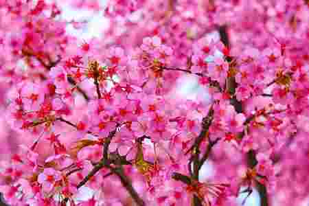 plum-tree-blossoms