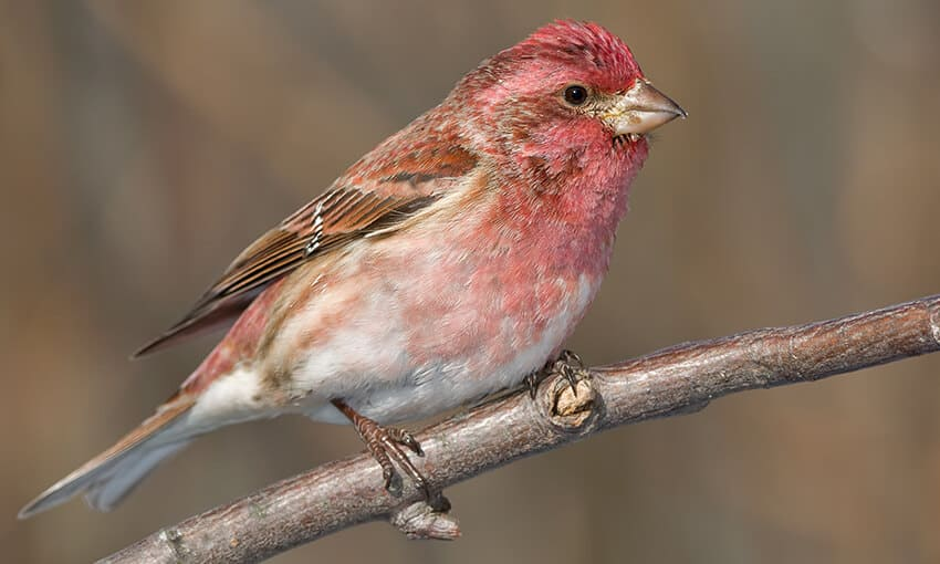 A picture of a purple finch perched on a branch.