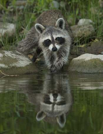A picture of a raccoon washing his hands in a lake or river.