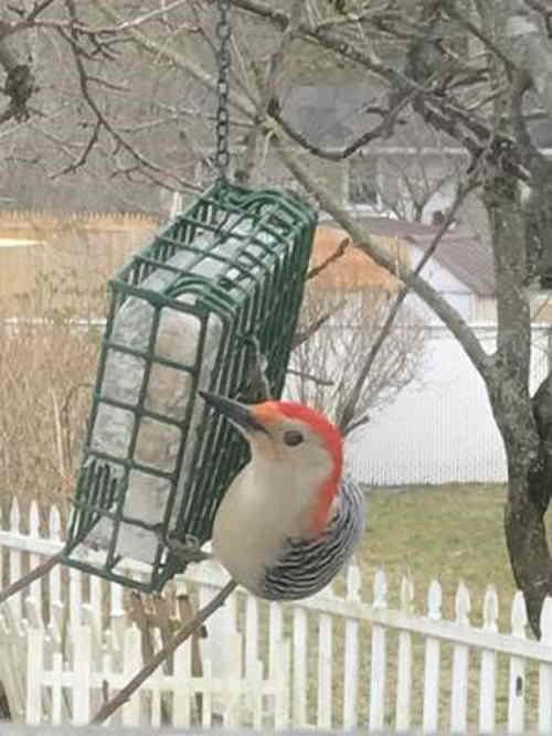 downy woodpecker eating suet bird food