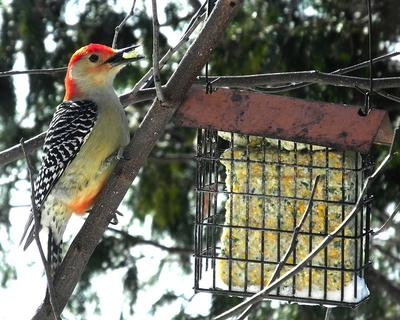A red-bellied woodpecker eating from a suet feeder.