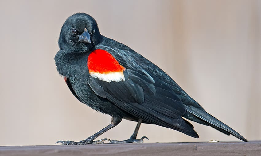 A picture of a red winged blackbird sitting on a piece of wood.