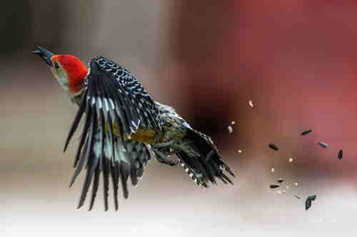 red bellied woodpecker in flight.