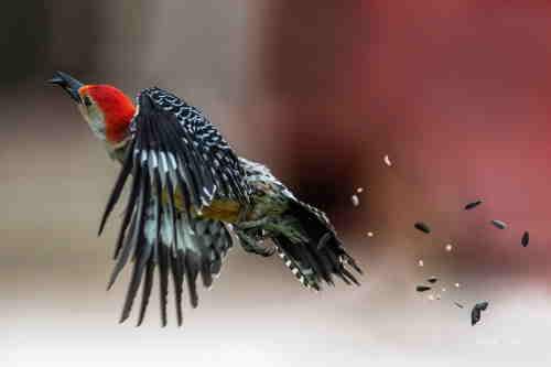 red bellied woodpecker in flight.