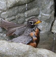 Robin enjoying bath