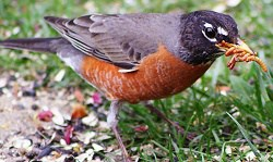 A robin eating mealworms