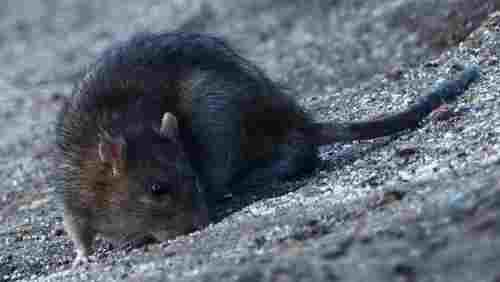 A picture of a rat eating bird seed off the ground.