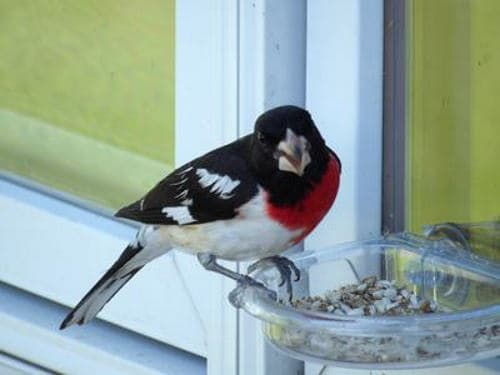 A picture of a  rose-breasted grosbeak eating from a window feeder.