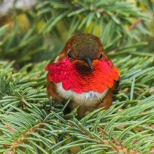 A ruby throated hummingbird sitting on a pine branch.