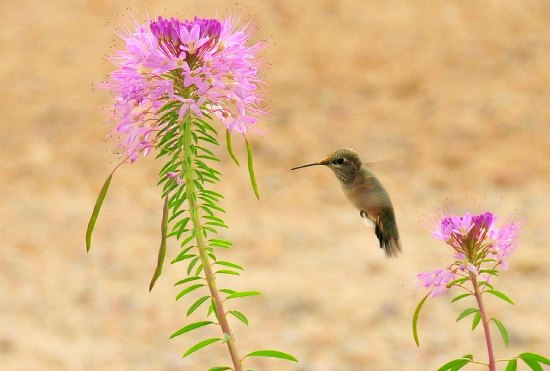 hummingbirds use plant material for nests