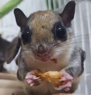 A flying squirrel close up with food in his hands.
